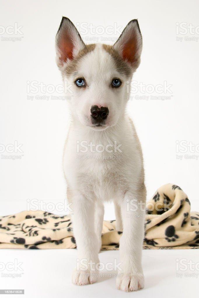 Cute husky puppy on white seamless royalty-free stock photo