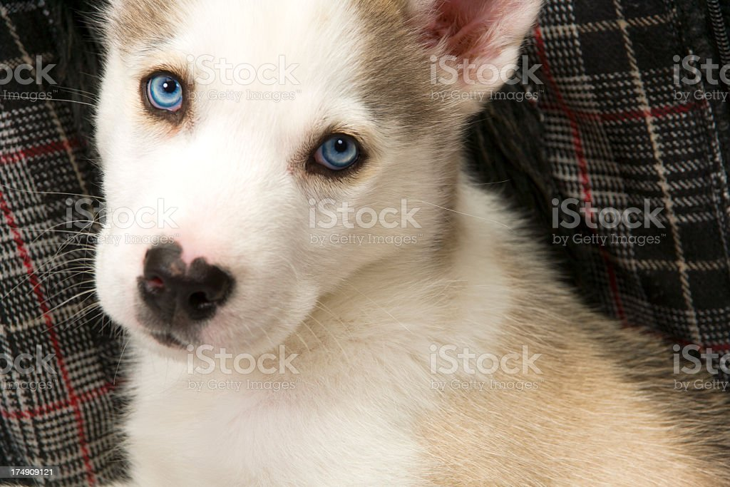 Cute husky puppy royalty-free stock photo