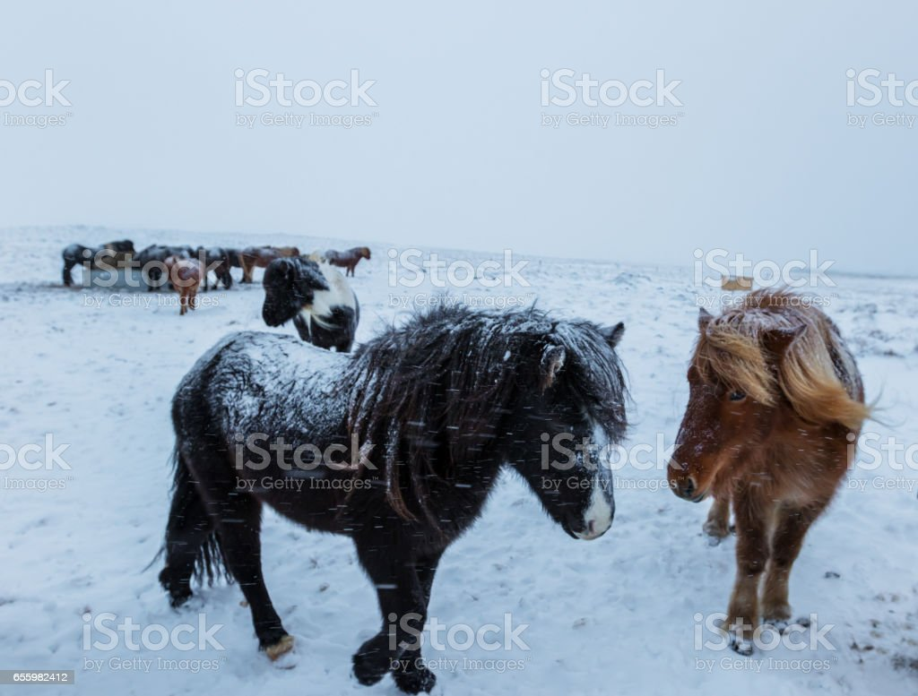 Cute icelandic horses in snowy weather stock photo