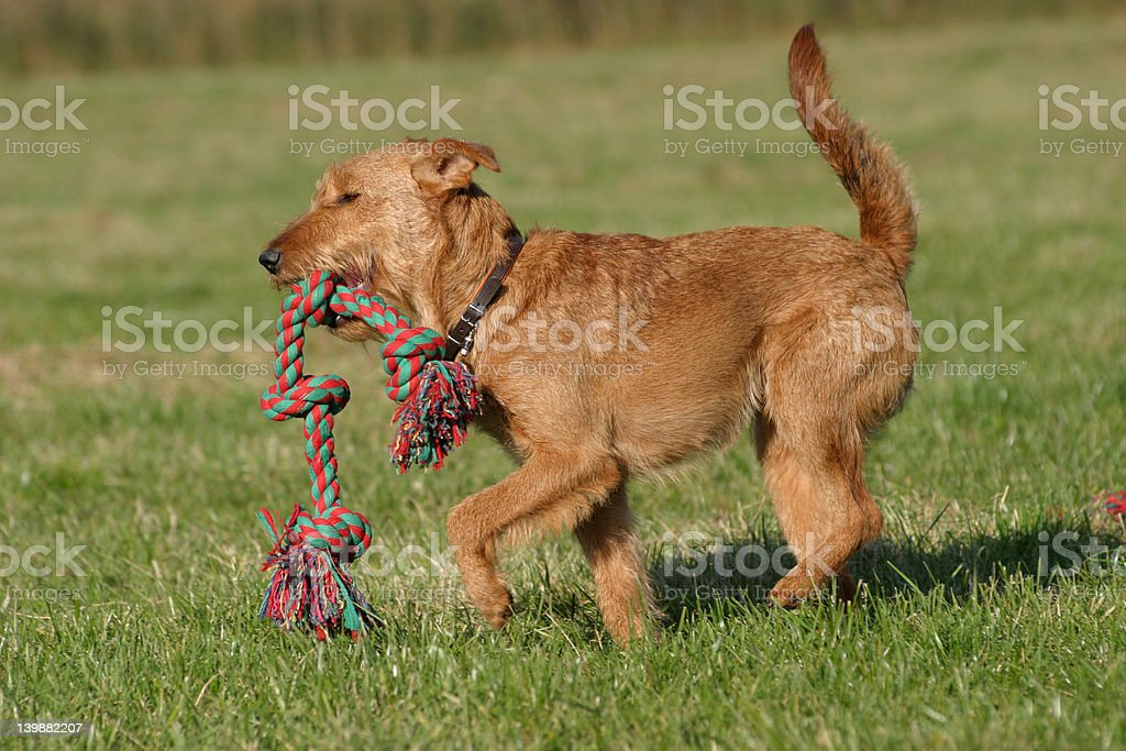 cute Irish terrier playing with a toy stock photo