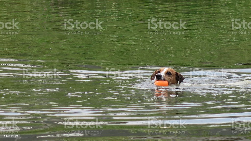cute jack Russel dog swimming with orange ball in lake stock photo