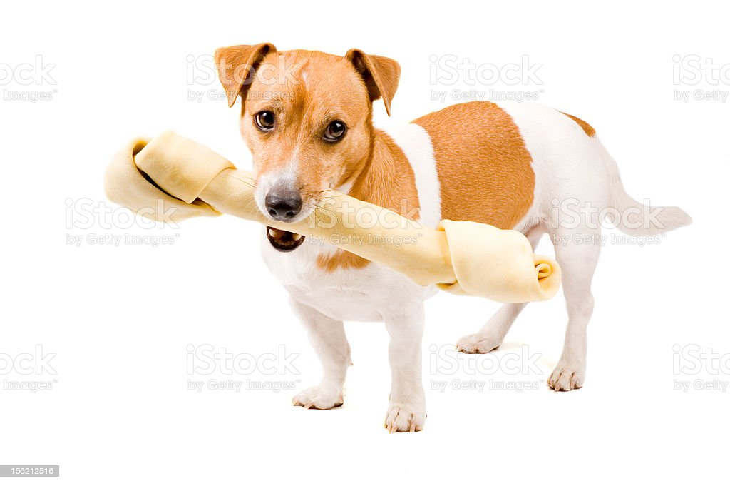 cute jack russel is holding a big bone royalty-free stock photo