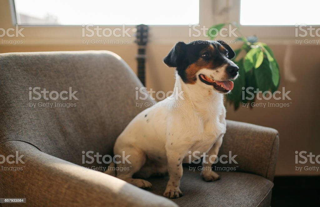 Cute Jack Russell dog relaxing on the sofa stock photo