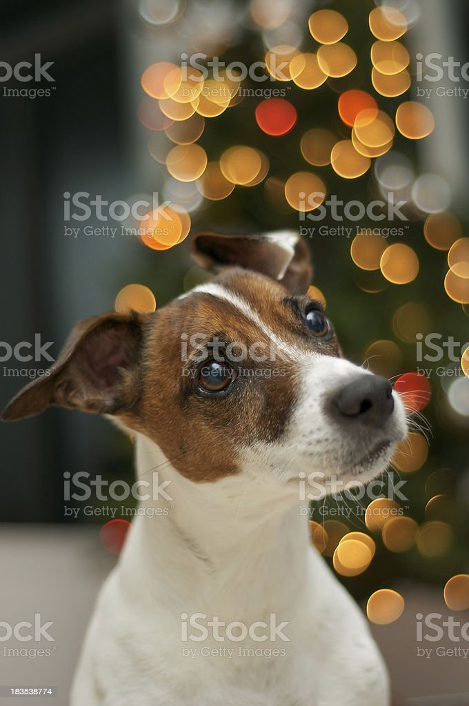 Cute Jack Russell Terrier stock photo