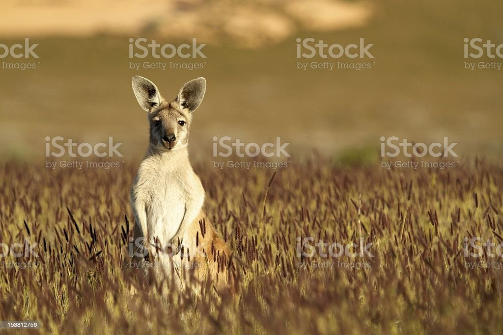 Cute Kangaroo in Australian outback stock photo