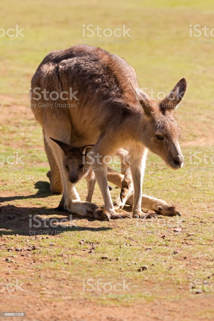 Cute Kangaroo with Joey in the pouch in Tasmania, Australia stock photo