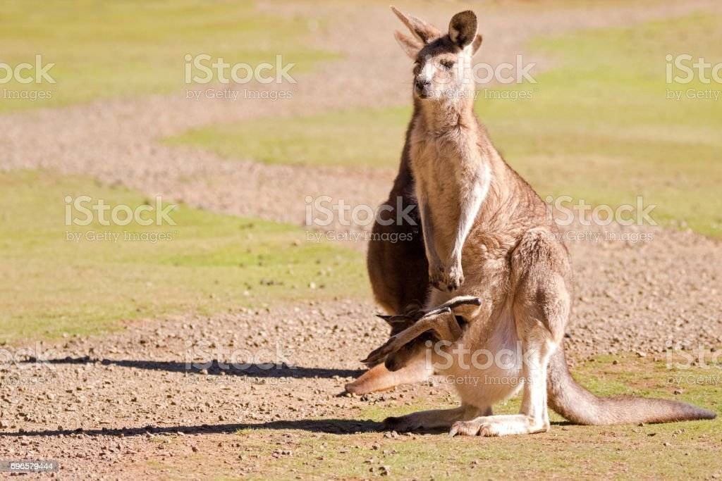 Cute Kangaroo with Joey in the pouch standing on green field in Tasmania, Australia stock photo