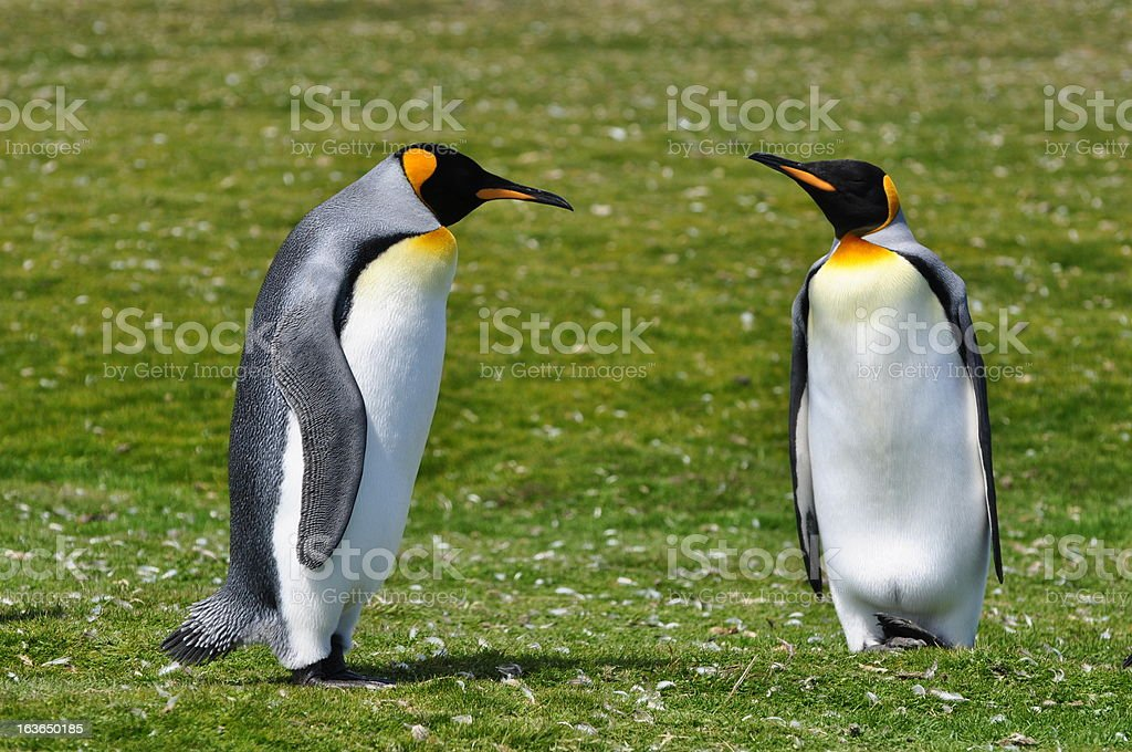 Cute King Penguins royalty-free stock photo
