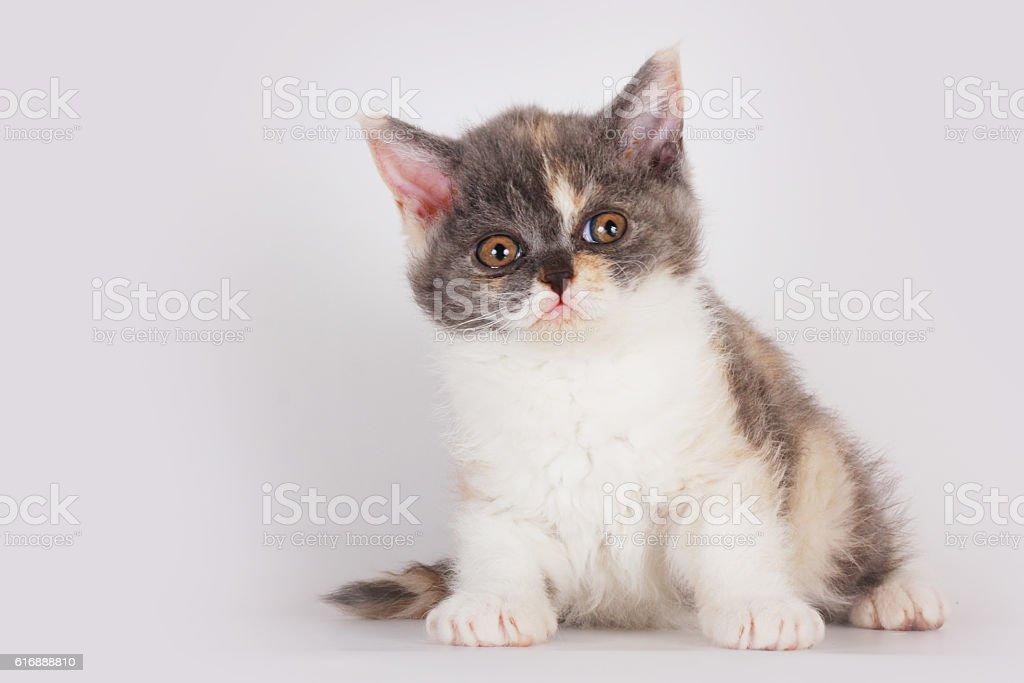 Cute kitten breed Selkirk Rex cat sitting stock photo