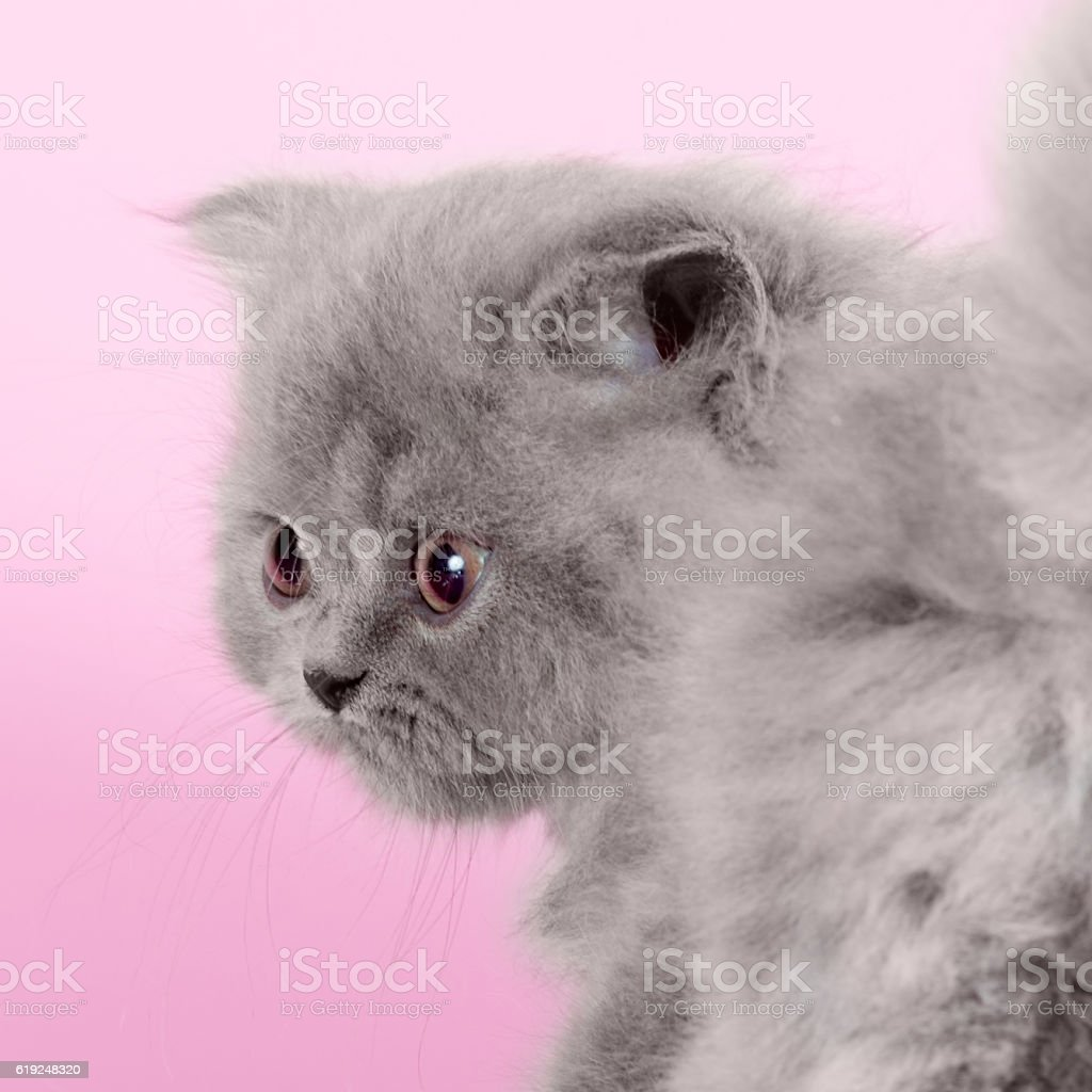 Cute kitten breed Selkirk Rex gray color on pink background stock photo