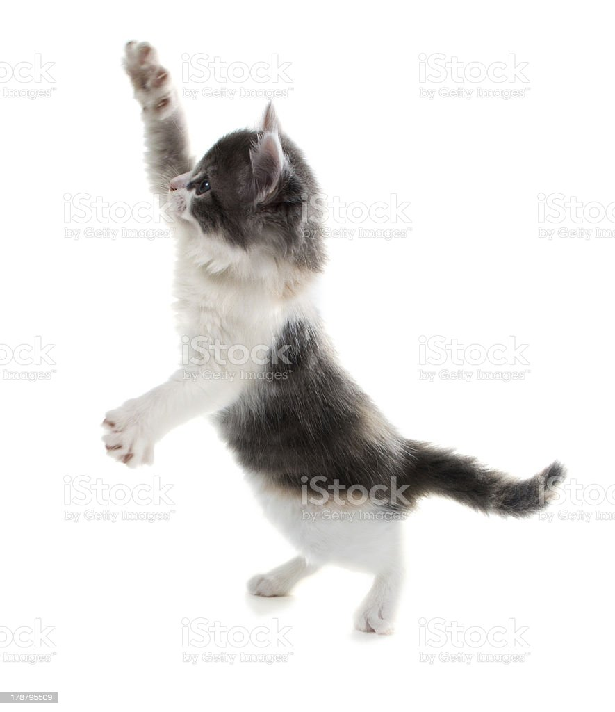 Cute kitten catches  toy standing on his hind legs royalty-free stock photo