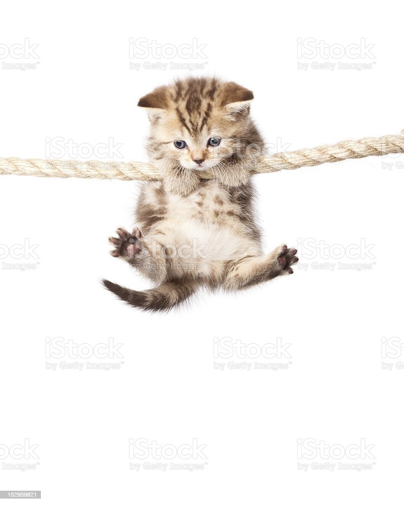 Cute kitten hanging on to rope isolated on white stock photo
