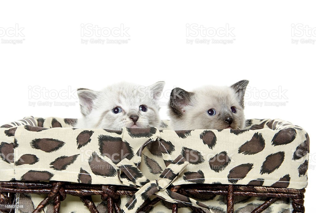 Cute kitten in a basket royalty-free stock photo