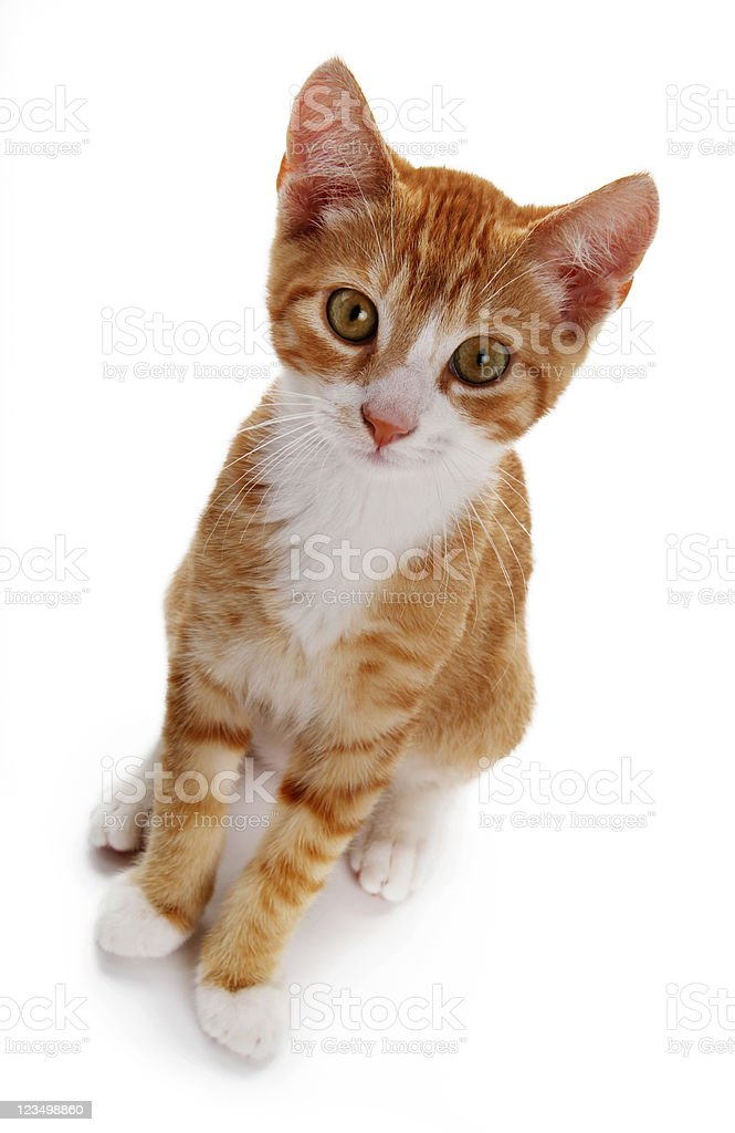 Cute Kitten Isolated on a White Background royalty-free stock photo