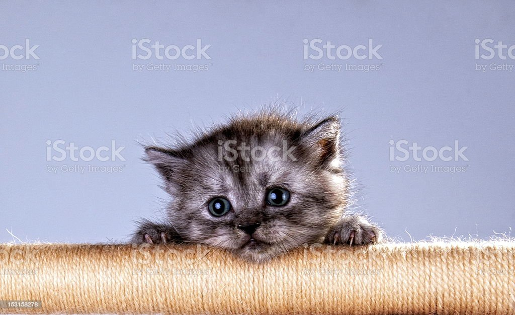 Cute kitten looking out  of the rope royalty-free stock photo