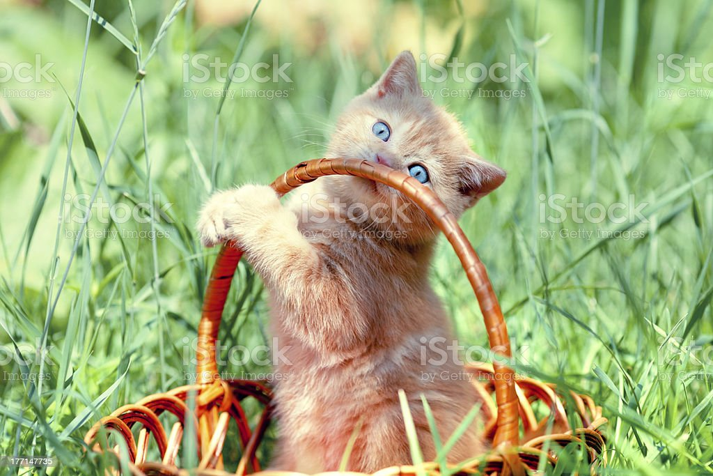 Cute kitten playing in the basket royalty-free stock photo