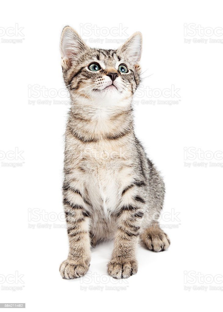 Cute Kitty on White Looking Up stock photo