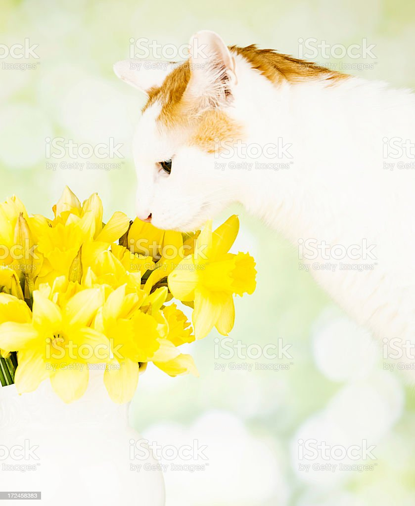 Cute Kitty Smelling Easter Flowers royalty-free stock photo