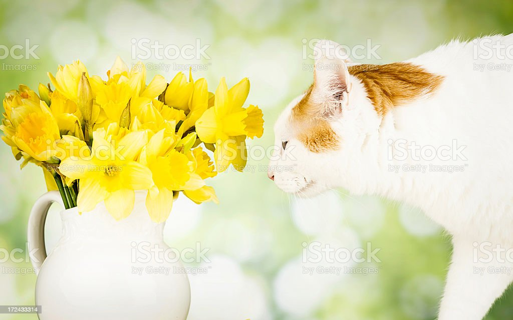 Cute Kitty Smelling Spring Daffodils royalty-free stock photo