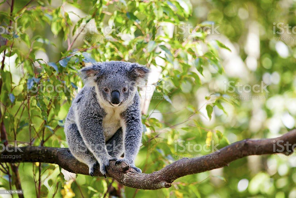 A cute koala climbing branch of a gumtree stock photo