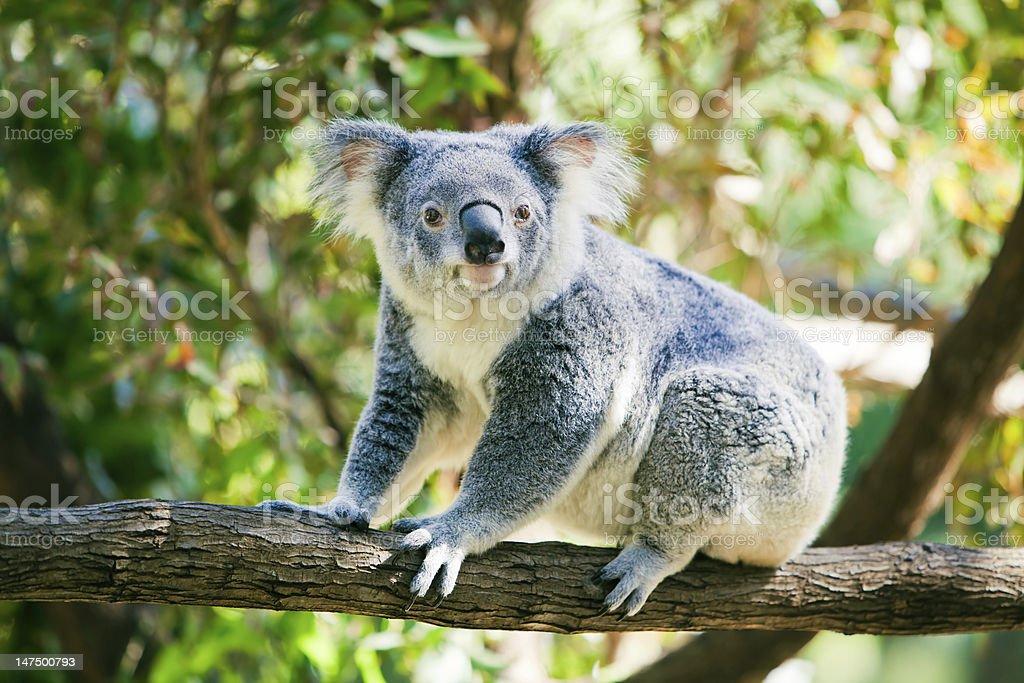 Cute koala in its natural habitat of gumtrees stock photo