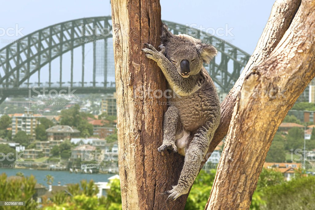 Cute Koala in Sydney, Australia stock photo