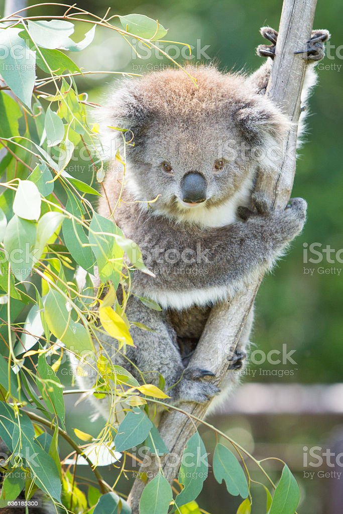 Cute Koala Looking at Camera stock photo