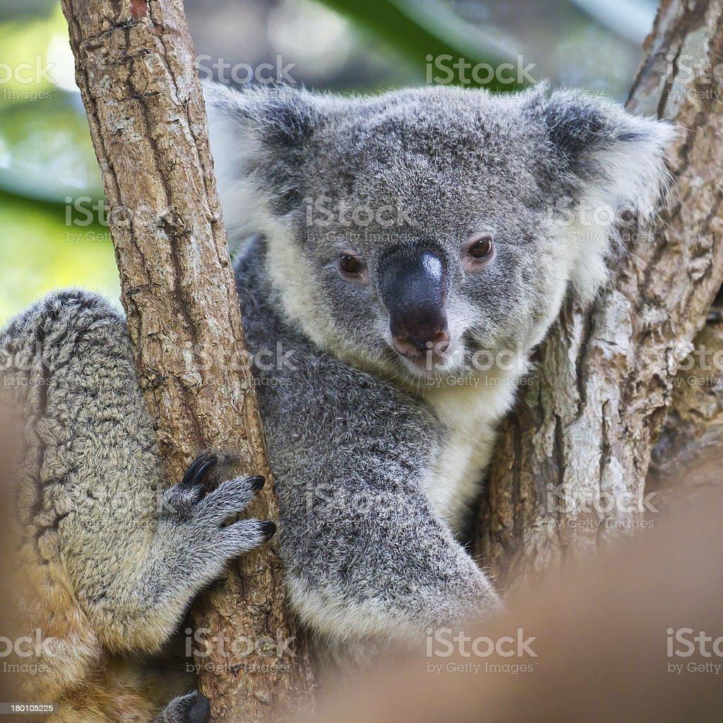 Cute Koala on tree close-up royalty-free stock photo