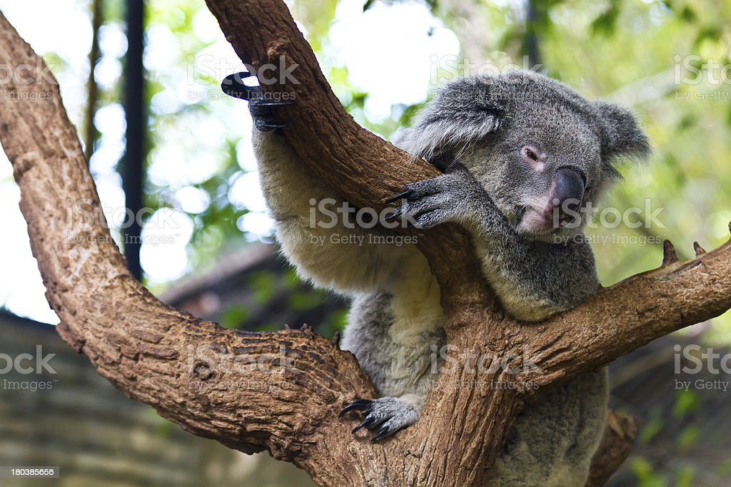 Cute Koala on tree royalty-free stock photo