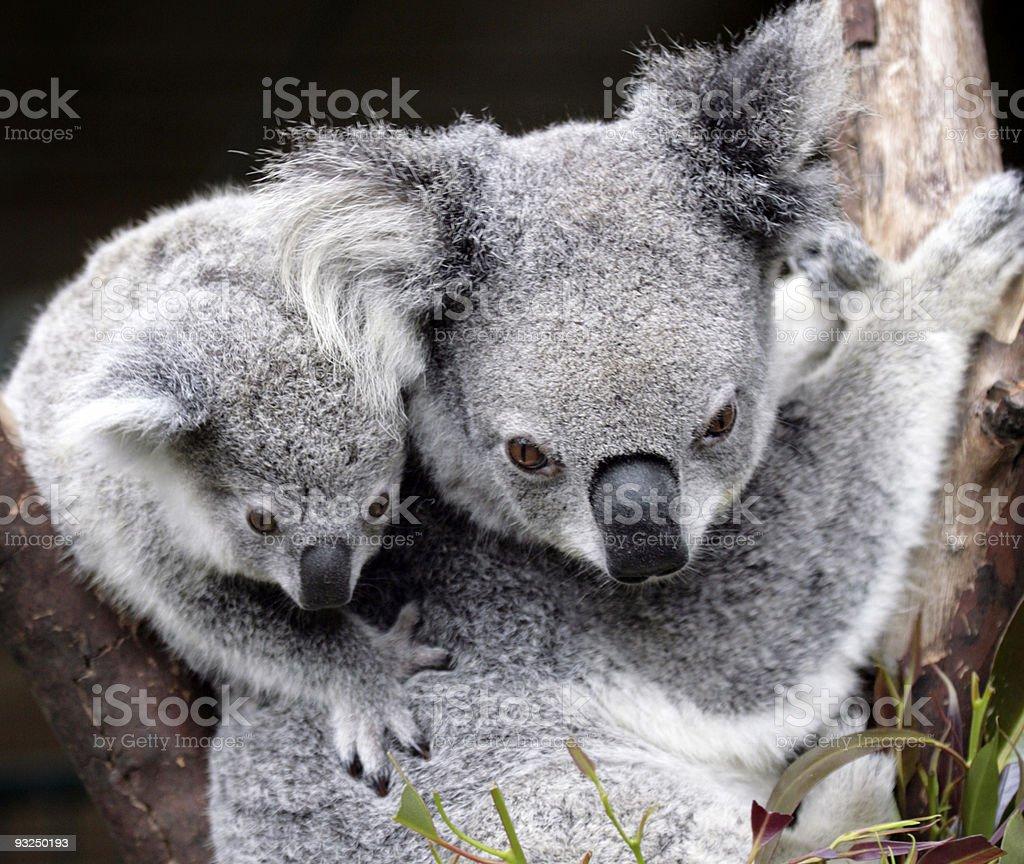 cute koala royalty-free stock photo