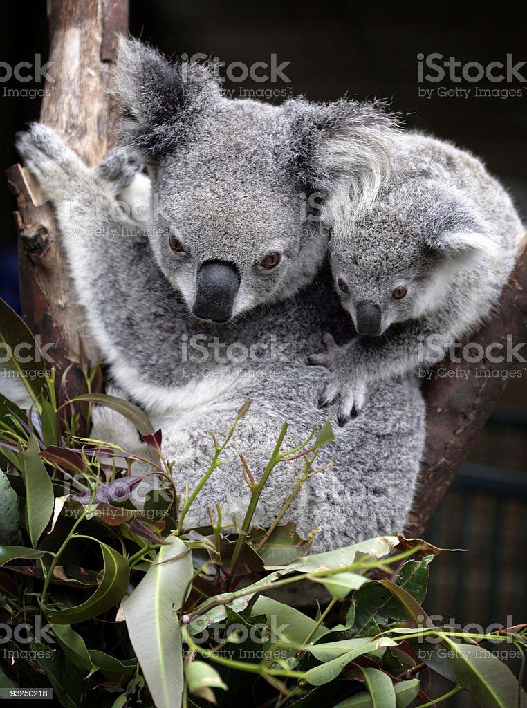 cute koala with baby royalty-free stock photo