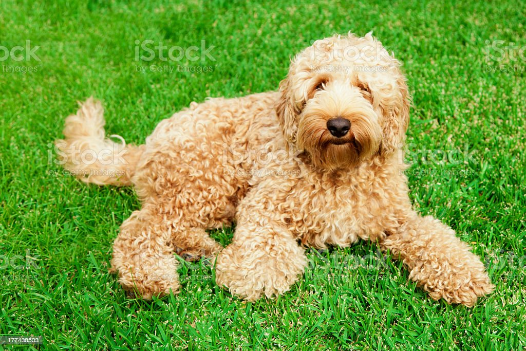 Cute labradoodle on a grassy field stock photo