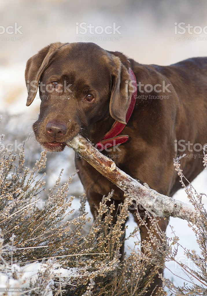 Cute Labrador carrying a stick royalty-free stock photo