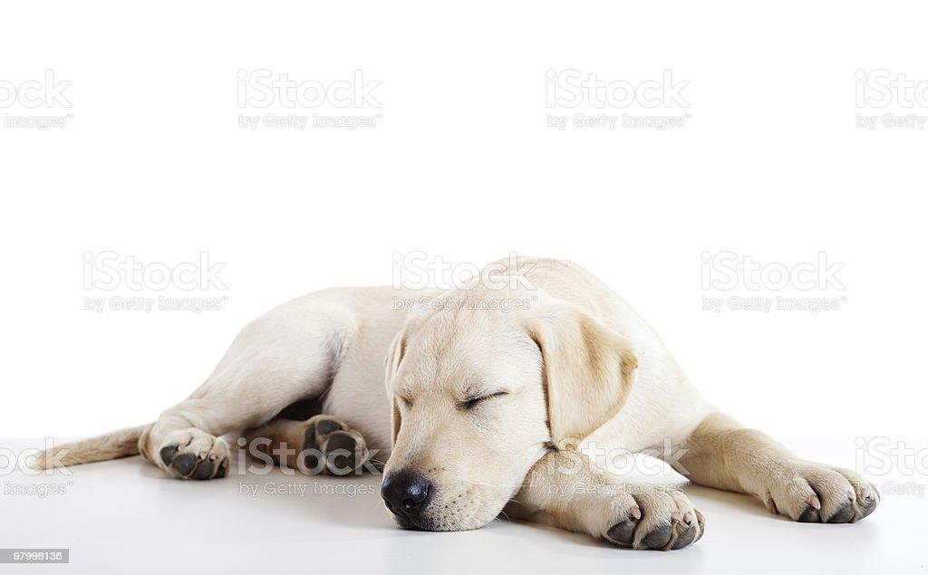 Cute labrador dog royalty-free stock photo