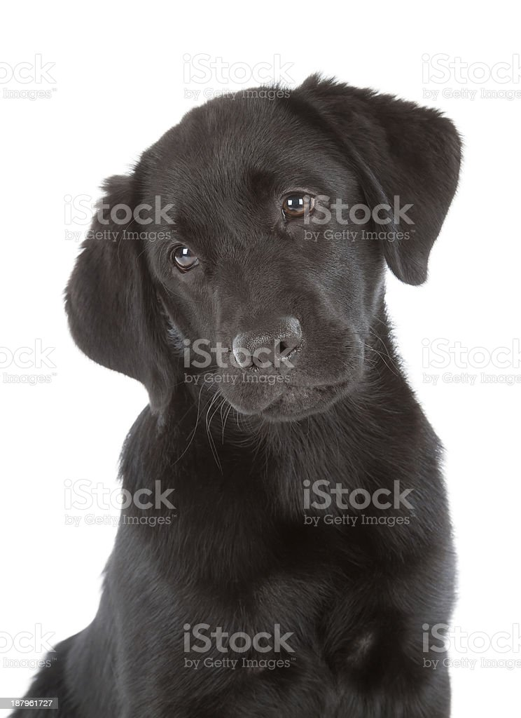 Cute Labrador Retriever Puppy stock photo