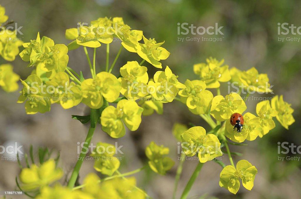 Cute Ladybug royalty-free stock photo