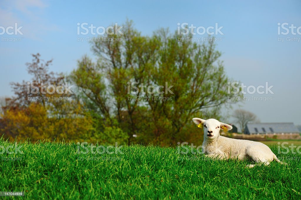 cute lamb in spring royalty-free stock photo