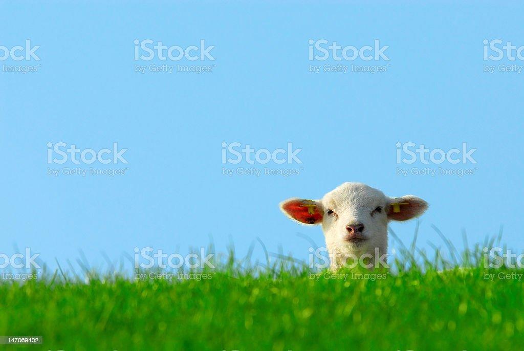 cute lamb in spring stock photo