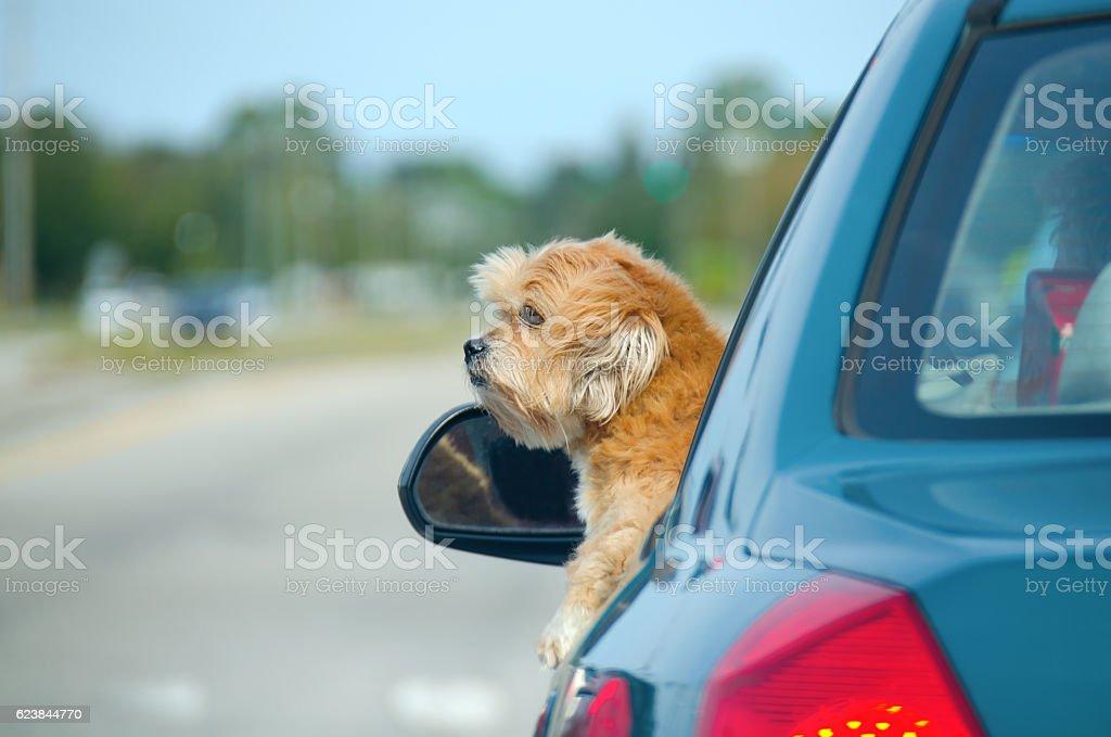 Cute lhasa apso dog hanging out window enjoying car ride stock photo