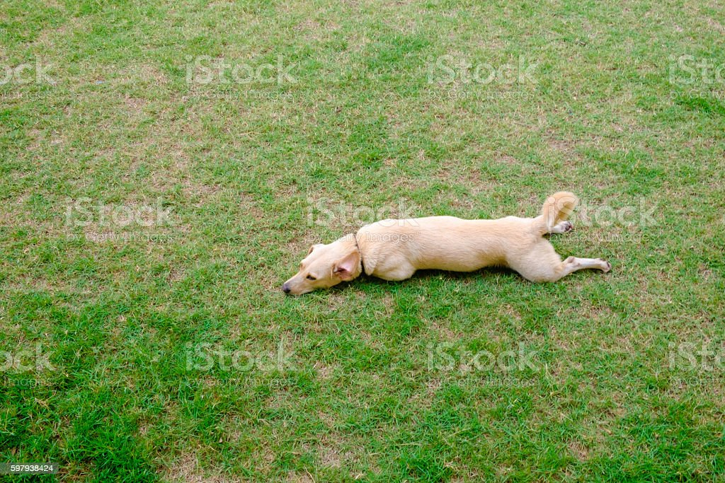 cute light brown dog lay down on green grass stock photo
