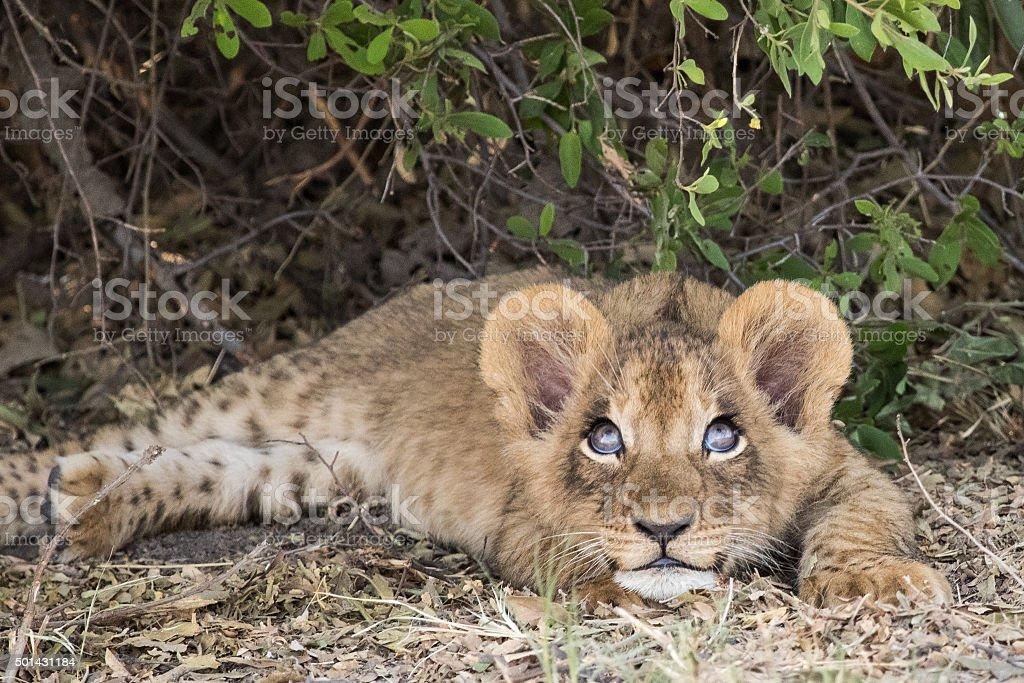 Cute lion cub looks mischievious stock photo
