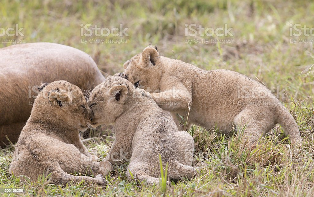 Cute lion cubs playing royalty-free stock photo