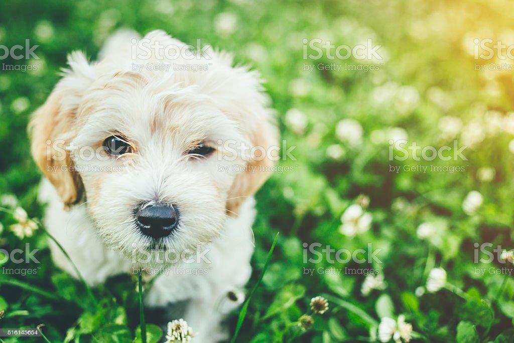 Cute little bichon enjoy outdoor stock photo