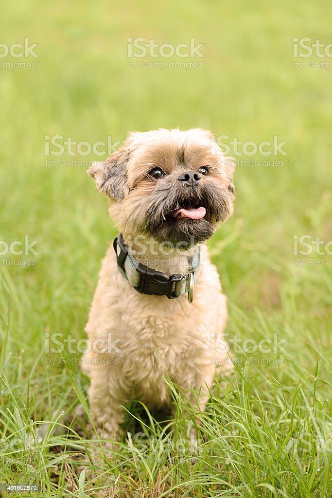 Cute little Bichon Frise in the green stock photo