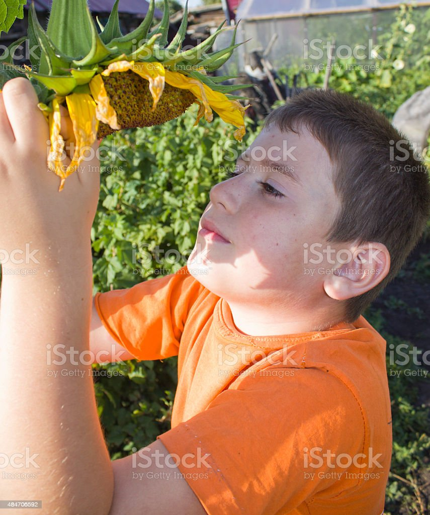 cute little boy with sunflower royalty-free stock photo