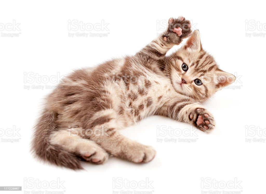 Cute little brown and beige spotted kitten lying on its back stock photo