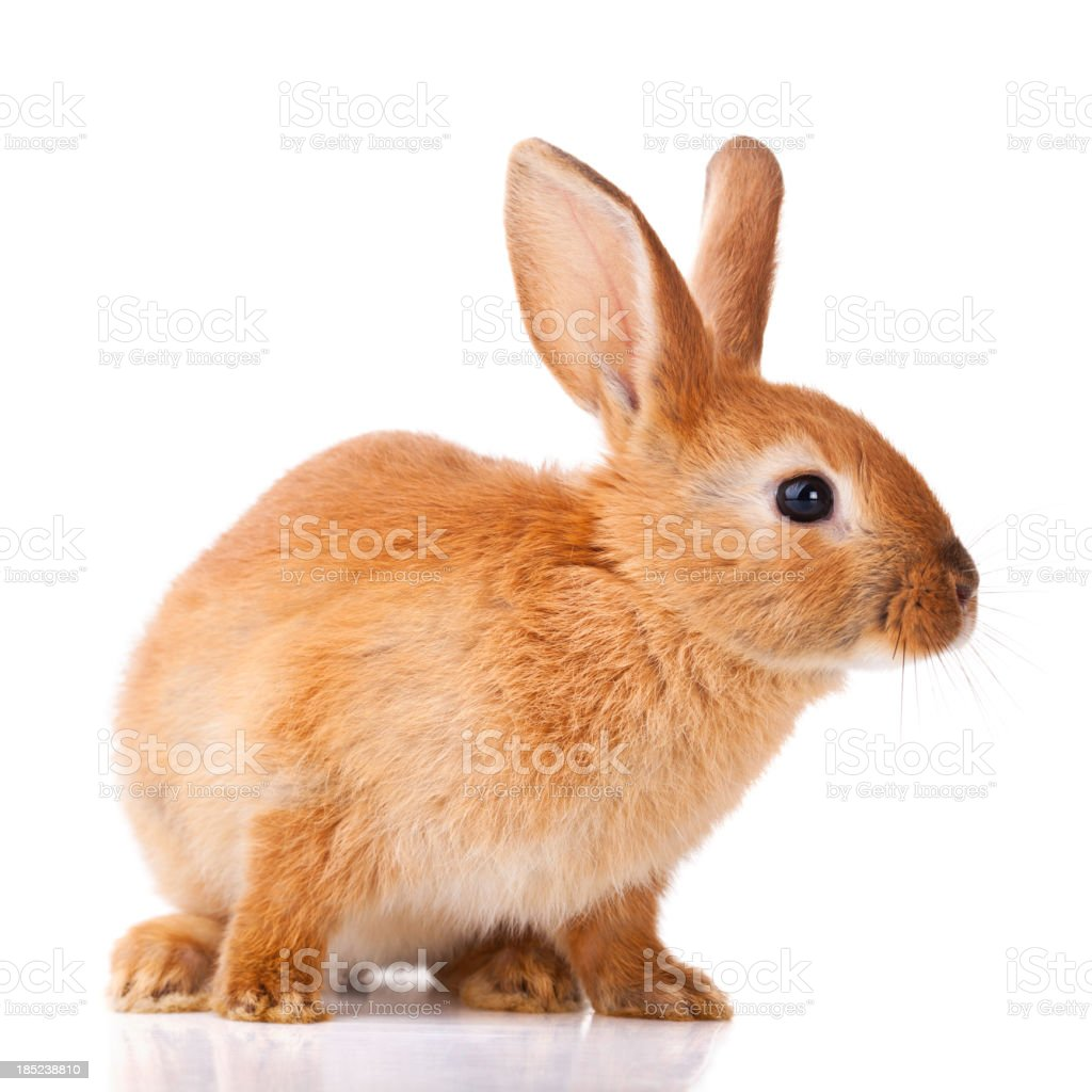 Cute little bunny stock photo
