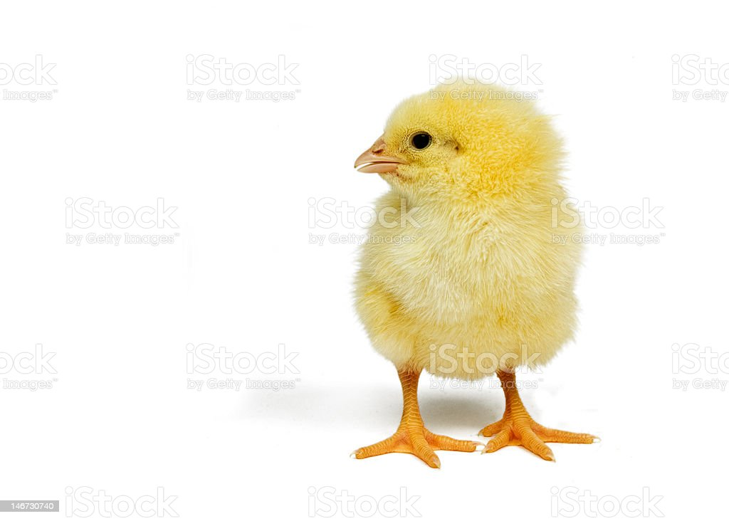 Cute little chick         (© Lobke Peers) royalty-free stock photo
