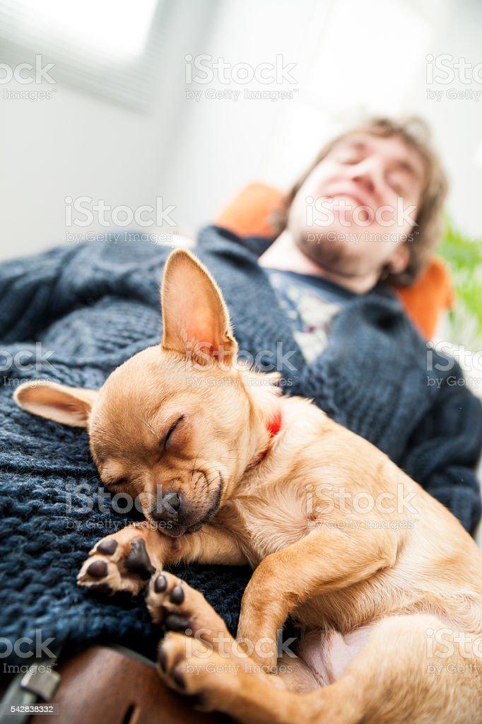 Cute little chihuahua fast asleep stock photo