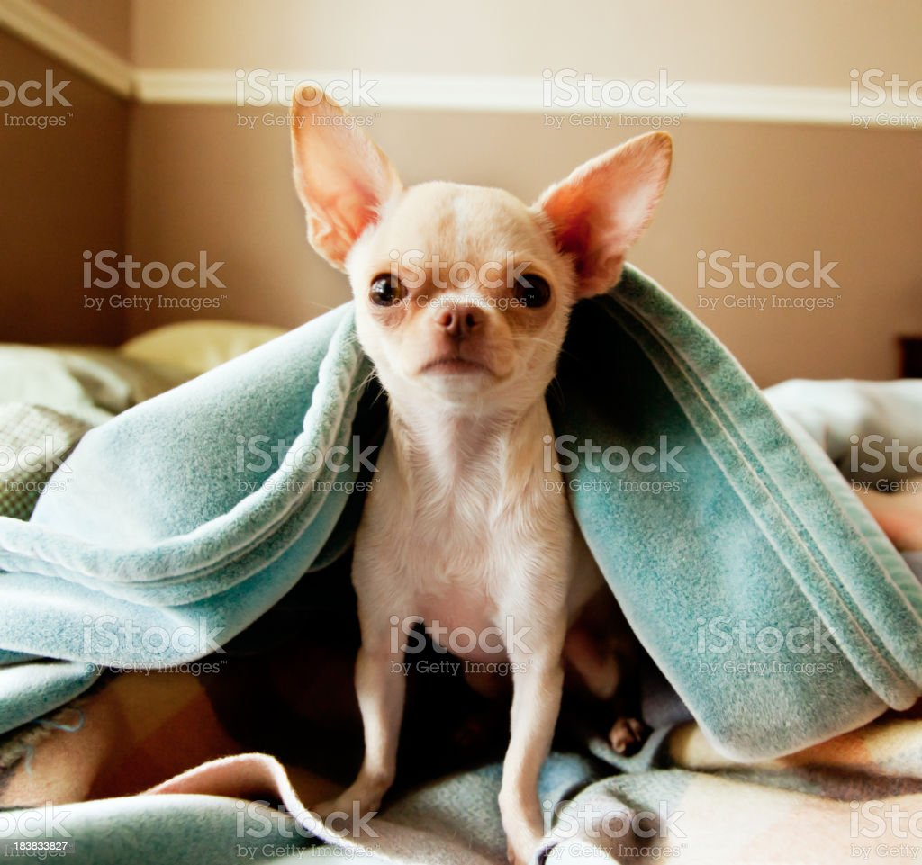 Cute little  Chihuahua looks at camera from under blankets stock photo